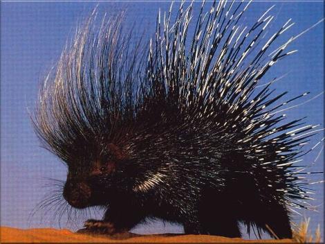 porcupine-cape